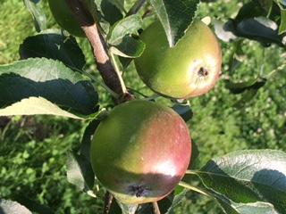 大きくなってきたりんご