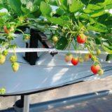 弘前の「いわきとそら農園」今年初めて夏秋イチゴの栽培を開始